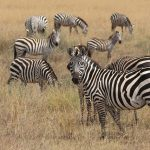 The striping pattern of a zebra is unique to each individual