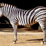Zebra is closely related to donkeys, asses, and horses
