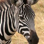 Zebras are united by their black and white striped coats