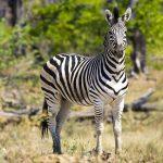 Equus quagga burchellii is the scientific name of Burchell's zebra
