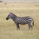 Zebra is closely related to horses, asses, and donkeys