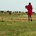 The Maasai tribe are schooled in both Swahili and English
