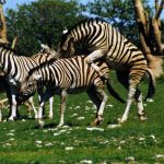 Predators and biting insects are confused by the stripes of a moving zebra by the wagon-wheel effect and the barber pole illusion