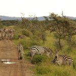 Zebras have night vision