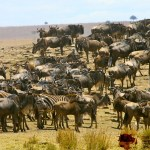 The crossing of the River Mara is the highlight of the migration