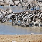 Bitings insets and predators are confused by the stripes of a moving zebra by motion dazzle