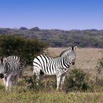 A couple of Zebras, photo taken at Khama Rhino Sanctuary, Botswana.