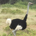 The scientific name of ostrich is Struthio camelus