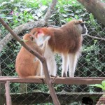 The patas monkey is also known as the wadi monkey