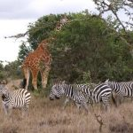 Zebras communicate with whinnying and high-pitched barks