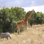 A zebra's ears indicate its mood