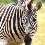 Equus quagga is the scientific name of Plains zebra