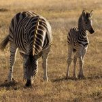 The vertical stripes of a zebra disrupts its outline when hiding in the grass and the the stripes of a zebra confuse predators by motion dazzle