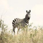 Equus quagga borensis is the scientific name of maneless zebra