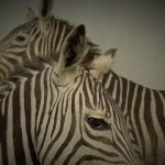 Crosses between zebras and other equines are called zorse, zebroid, zeedonk, zony, and zeedonk