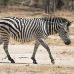 Crawshay's zebra is a type of plains zebra