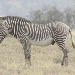 A zebra's stripe pattern is unique