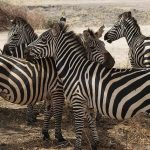 A group of zebras standing together appear as one mass of flickering stripes to the predators