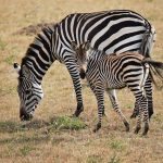 Zebra's stripes are caused by a combination of factors