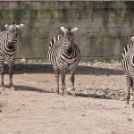Crosses between zebras and other equines are called zony, zorse, zebroid, and zeedonk