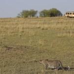 Open safari vehicles allow for fantastic views
