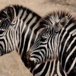 Zebras are polyphyletic