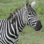 Zebras have a symbiotic relationship with some birds