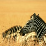 Zebras will only sleep in the company of others so that they can warn each other of predators