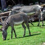 Zebra's stripes are vertical on the neck, head, forequarters, and main body