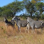 The stripes of a zebra confuse predators by motion dazzle