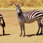 "The etymology of the name ""zebra"" is unknown"