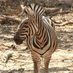 A zebras has a slight resemblance an ass