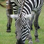 Hunting has severely impacted zebra population