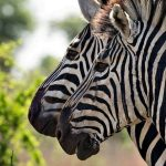 Zebras evolved within the last 4 million years