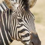 Grevy's zebra is classified as endangered