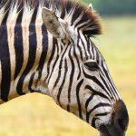 Grevy's zebra is the rarest species