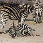 A zebra's ears are pushed forward when it is frightened and pulled backward when it is angry