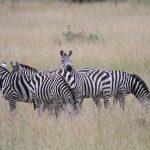 When tense, zebras snort