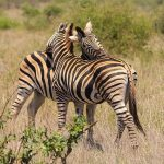 A zebra's ears are pushed forward when it is frightened