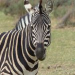 Donkey and horse are the closest relatives to zebra