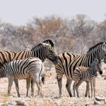 A zebra's ears are pulled backward when it is angry and pushed forward when it is frightened