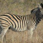 The long narrow heads of Grevy's zebra make it appear mule-like