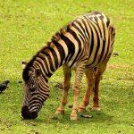 Coastal hills is one of the habitats of zebras