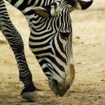 Zebra species have overlapping ranges