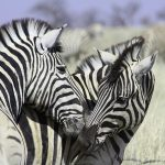 Zebras will stand in an alert posture when surveying an area for predators