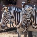 Mountain zebra is smaller than Grevy's zebras
