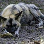 African wild dog sleeping