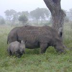 Black rhino and calf.