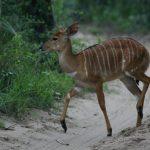 Female impala.