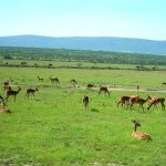 Impalas are found in thousands.